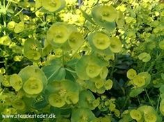 Euphorbia amygdaloides var. robbiae - Vortemælk