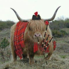 Wonder how they got the Highland cow to stand still while they dressed him.  OH... and he plays pipes !!!