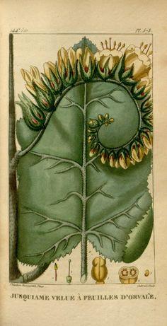 Hyosciamus niger spinosus. ct. 8 - Flore médicale des Antilles, ou, Traité des…
