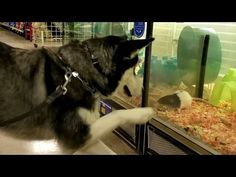 Playful Husky Wants To Be Besties With All The Rats At The Pet Store - BarkPost