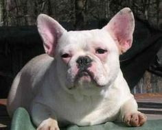 Jackson is an adoptable French Bulldog Dog in Bryans Road, MD. PET ONLY: RETIRED Breeder Adult French Bulldog Jackson (White Male), age 6 (DOB 6/12/06). Great with kids, cats and some female dogs. UTD...