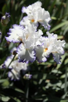 Elvis Presley Iris- don't have, but will look for it!