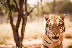 #Tigre. South Africa foto di Girolamo Monteleone