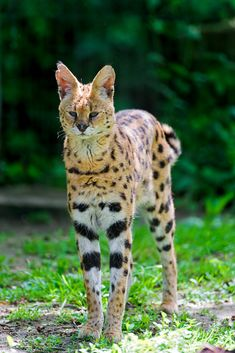 A serval of the krefeld zoo just hanging around and standing in the grass...