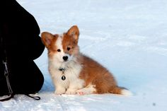 Cutest Corgi puppy ever.