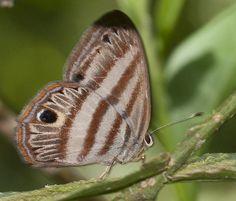 https://flic.kr/p/phqHo6 | Euselasia orfita maybe, Common-blue Sombermark, 2014 Oct 28, Rio Pingullo, Napo, Ecuador, JGlassberg - 244 | Euselasia orfita maybe, Napo, Ecuador, Sunstreak Tours, Glassberg