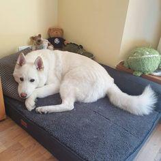 "Gefällt 40 Mal, 6 Kommentare - Shadow 🐺❄♥️ (@shadowtherescuehusky) auf Instagram: ""Nighty night, hoomanz 😴💤💤💤 . . . #orthopedicdogbed #dogbedswithstyle #huskydogbed #sleepytime…"" Nighty Night, Orthopedic Dog Bed, H Style, Husky, Dogs, Animals, Instagram, Good Night, Animais"