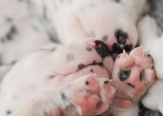 Dalmatian puppies at 15 days old.