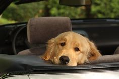 My first Golden loved to go for a drive in my convertible!