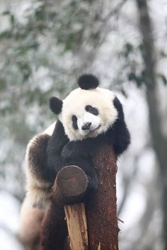 Giant pandas have unusually thick and heavy bones for their size, but they are also very flexible and like to do somersaults. - Panda Panda, Panda Bears, Panda Love, Cute Panda, Brown Panda, Panda Painting, Cute Animals, Animals Beautiful, Animals And Pets