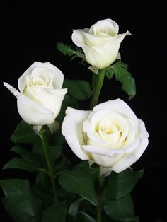 Pretty Roses, Beautiful Roses, White Roses Wallpaper, Roses For Her, Bride Bouquets, Flower Pictures, White Flowers, Orchids, Bloom