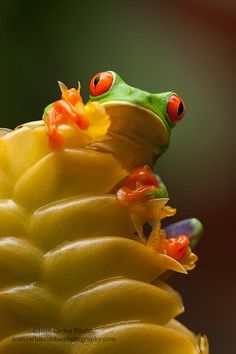 Red-eyed and calathea. by Juan Carlos Vindas on 500px