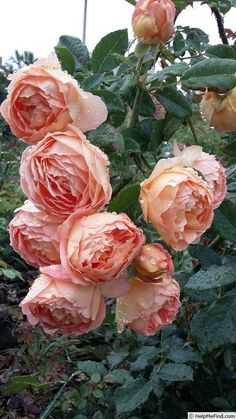 New English Landscape Garden David Austin Roses Ideas Pretty Roses, Beautiful Roses, Beautiful Gardens, Shade Flowers, Love Flowers, Exotic Flowers, Purple Flowers, Garden Care, Lady Of Shalott Rose