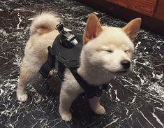 Shiba Inu Lover Share by Thank you for sharing this awesome picture with us! Cute Puppies, Cute Dogs, Dogs And Puppies, Funny Dogs, Cockapoo Puppies, Small Puppies, Funny Memes, Cute Little Animals, Cute Funny Animals