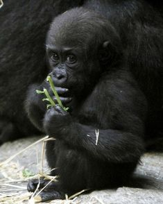 …and still eating healthy… | The 14 Most Adorable Moments Of One Gorilla's Toddlerhood