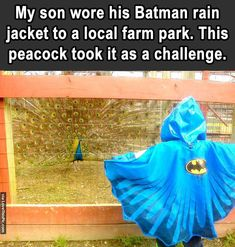 Kid Wore Wore A Batman Rain Jacket To A Farm And A Peacock Took It As A Challenge funny cute animals adorable lol peacock humor funny pictures funny kids hysterical funny images