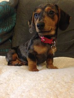 Sophie the new addition. A miniature smooth haired silver dapple dachshund Funny Dachshund, Dachshund Puppies, Dachshund Love, Pug Love, I Love Dogs, Cute Puppies, Dogs And Puppies, Weenie Dogs, Doggies