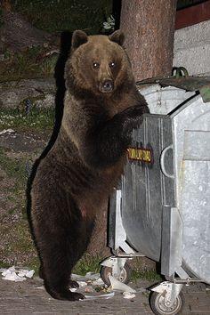 brown bear rummaging o medvědech v Tatrách Brown Bear, Nova, Panda, Film, Animals, Slovenia, Countries, Beauty, Movie