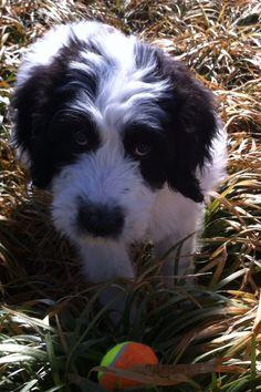 Stella 12 weeks old Saint Berdoodle
