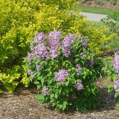 Proven Winners - Scentara Pura® - Lilac - Syringa x hyacinthiflora purple plant details, information and resources. Cut Flowers, Colorful Flowers, Purple Flowers, Purple Plants, Syringa, Border Plants, Soil Ph, Proven Winners, Plant Needs