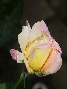 Eso utan Rose, Flowers, Plants, Pink, Plant, Roses, Royal Icing Flowers, Flower, Florals