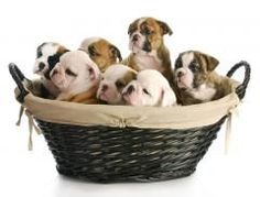 """""""Bulldog Puppy Litter"""" - Dog Stock Photos from Go Graph Baby Puppies, Cute Puppies, Dogs And Puppies, Puppies Puppies, Doberman Puppies, Puppy Litter, Dog Stock Photo, Pregnant Dog, English Bulldog Puppies"""