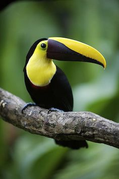 Chestnut Mandibled Toucan, or Swainson's Toucan: Honduras to N.Columbia to W.Ecuador #bird