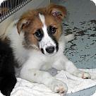 Check out Fav, an adoptable Australian Shepherd on Adopt-a-Pet.com.