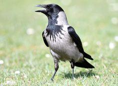 Hooded crow
