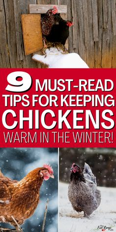 Do you raise chickens and want to make sure they stay safe and warm during the cold winter months? Here's how to keep your chickens warm in the winter! These 9 tips will help your chickens stay warm and healthy no matter how cold it gets! Types Of Chickens, Raising Backyard Chickens, Backyard Chicken Coops, Keeping Chickens, Chicken Coop Plans, How To Raise Chickens, Baby Chickens, Chickens In The Winter, Raising Farm Animals