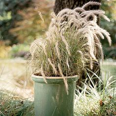 A single Pennisetum setaceum 'Red Riding Hood' fills a glazed sea green container. Pinkish blond seed heads shimmer atop the dwarf fountain grass. Red Fountain Grass, Pennisetum Setaceum, Faux Grass, Beach Grass, Ornamental Grasses, Trees And Shrubs, Garden Beds, Container Gardening, Mother Nature