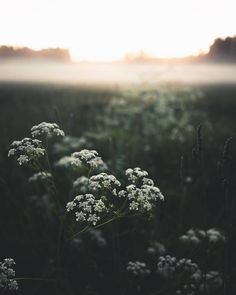 """ponderation: """"Flowers by Niilo Isotalo """" Misty Night, Rivers And Roads, Queen Annes Lace, Book Aesthetic, Planet Earth, Live Life, Paper Flowers, Breeze, Dandelion"""