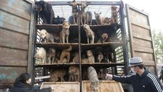 520 dogs rescued by animal rights activists on the way to the slaughterhouse in China