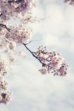 .cherry blossom