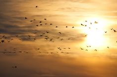 Flock of Canada geese flying at sunrise, Merkle Wildlife Sanctuary   Flickr - Photo Sharing!