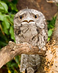 funny owl looks depressed..... not an owl... tawny frogmouth!