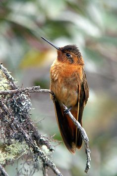 The Shining Sunbeam (Aglaeactis cupripennis) is a species of hummingbird in the Trochilidae family. It is found in Colombia, Ecuador, and Peru