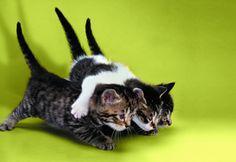 Обои три котенка, котята, Кошки