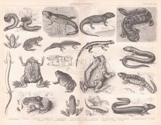 Inch Print (other products available) - Batrachians and other Amphibia (litho) (b/w photo) by English School; English, out of copyright - Image supplied by Fine Art Finder - print made in the UK Big Canvas, Canvas Prints, Antique Prints, Print Pictures, Natural History, Halloween, Watercolor Art, Photo Wall Art, My Arts