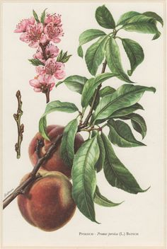 1960 Vintage Botanical Print Peach Tree Prunus by Craftissimo