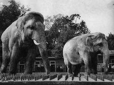 Почему парижане в 1870 году съели двух слонов из зоопарка?Когда в ходе Франко-прусской войны немцы в 1870 году осадили Париж на пять месяцев, в городе быстро возникла нехватка продовольствия. По мере того как обычные продукты стали заканчиваться, парижане стали есть конину, а затем кошек, собак и крыс. Когда и это ...