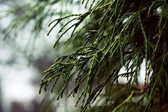 Nature Photograph Evergreen Tree Branches Winter Snowy Forest Woods Green Blue 16x24 Large Wall Decor