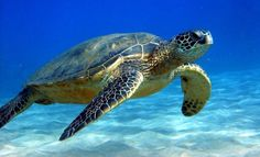 Sea turtles, scuba diving in Balicasag, Philippines.