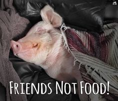 Esther the wonder pig!!!  PETA