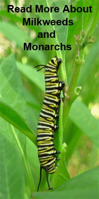 tropical milkweed is popular as both a caterpillar food plant and butterfly nectar plant. Plant it and they will come.