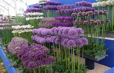 Alliums for the flower garden How to grow alliums, what variety to choose Hardy Easy Not susceptible to any serious plant diseases or pests and even ornamental alliums are deer and rodent resistant because they are technically members of the onion family Cut Flower Garden, Flower Gardening, Organic Gardening, Vegetable Gardening, Flowers For Garden, Small Flower Gardens, Peonies Garden, Gardening Tools, Container Gardening