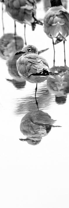 Gulls, by Craig Royal. Prints available. #birds #seagulls #photography