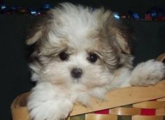 Teddy Bear Dog This is all I want in life! Bear Puppy, Teddy Bear Puppies, Tiny Puppies, Puppies And Kitties, Cute Puppies, Cute Dogs, Doggies, Havanese Dogs, Maltipoo