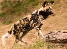 African Wild Dog Facts,photos and videos Often confused with hyenas and having a bit of a reputation, African wild dogs regularly appear on peoples least liked animals list, we are unashamedly partial African Hunting Dog, African Wild Dog, Hunting Dogs, List Of Animals, Animals Of The World, Animals And Pets, Dog Facts, Animal Facts, Socializing Dogs
