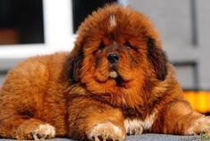 Is the Tibetan Mastiff right for you? Read our online guide complete with pics and info on characteristics, health and life style.